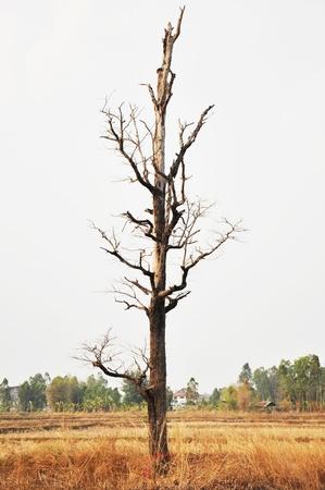 dead trees: Dry tree in wilderness