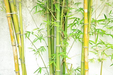 Bamboo trees on white concrete background Stock Photo - 18820113
