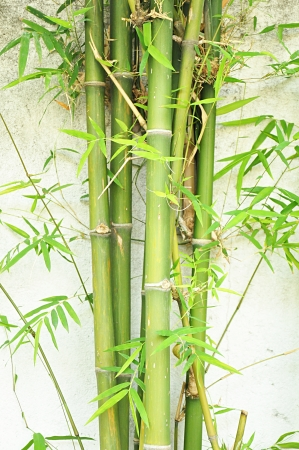 Bamboo trees on white concrete background photo