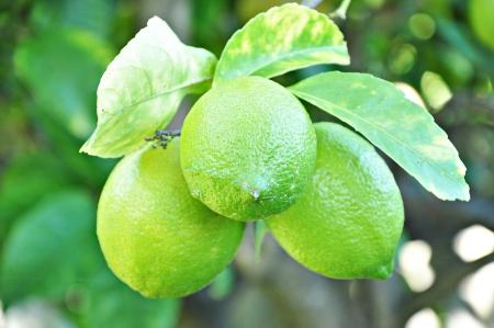 Lemons on the tree photo