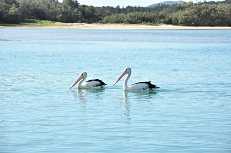 Two Australian Pelicans on the water photo