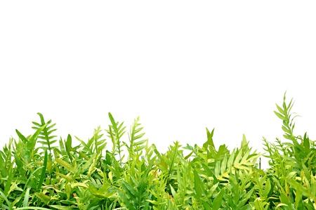 野草: 白い背景の上の緑のシダの葉