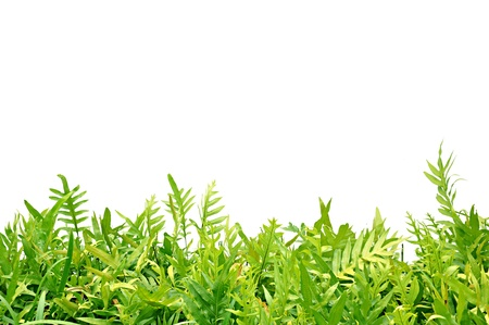shrubs: Green fern leaves on white background Stock Photo