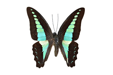 Beautiful butterfly isolated - Common Bluebottle (Graphium sarpedon) photo