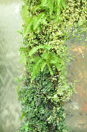 creeping plant: Vertical garden on water fall wall background