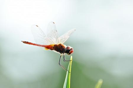 Beautiful dragonfly on tip of green leaf photo