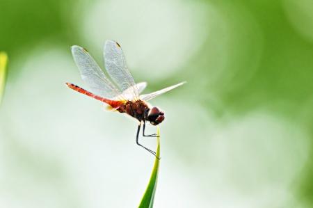 tip of the leaf: Dragonfly on tip of green leaf