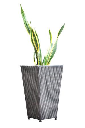 flower pot: Green plant - Sansevieria  Trifasciata - in wicker flower pot