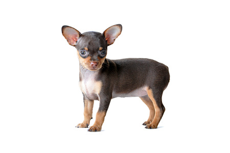 chiwawa: Adorable chihuahua dog standing  on white background