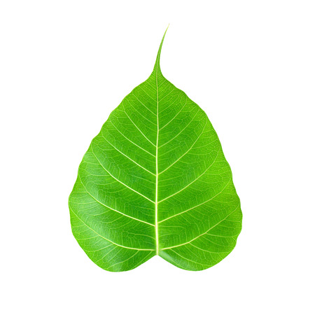 Pipal or Bo leaf isolated on white background photo