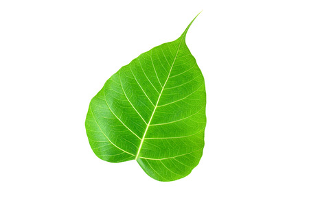 bo: Pipal or Bo leaf isolated on white background
