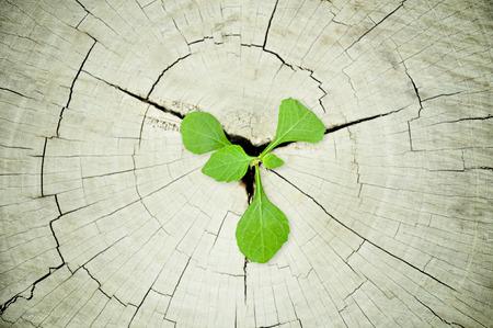 regeneration: Piantina verde cresce dal ceppo di albero - la rigenerazione e il concetto di sviluppo Archivio Fotografico