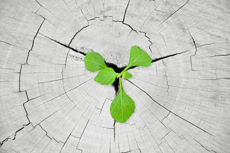 empezar: Green plántulas que crecen desde el tocón del árbol - la regeneración y el concepto de desarrollo