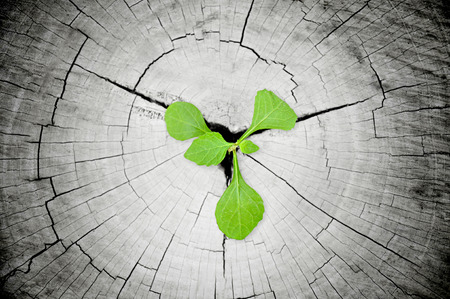 rebirth: Green seedling growing from tree stump - regeneration and development concept