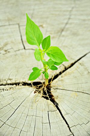 Green seedling growing from tree stump - regeneration and development concept photo