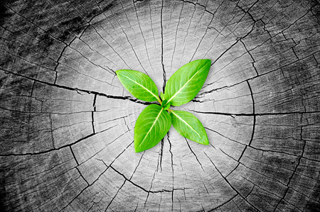 reborn: Green seedling growing from tree stump - regeneration and development concept