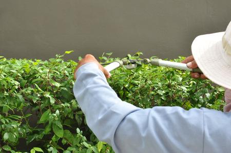 Gardener cutting hedge with grass shears photo