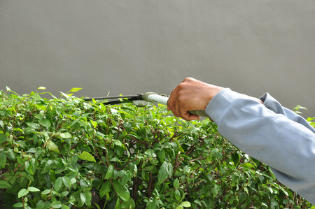 tree trimming: Gardener cutting hedge with grass shears