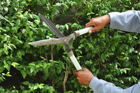 shear: Gardener cutting hedge with grass shears