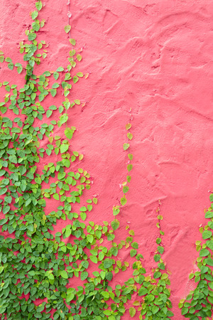 Ivy or climbing plant on colorful pink concrete wall
