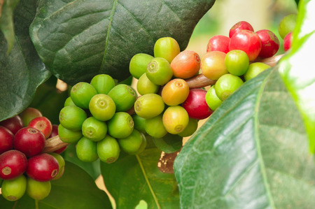 Coffee beans on branch of coffee tree - Arabica coffee Stock Photo