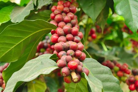 arbol de cafe: Los granos de caf� en la ramificaci�n del �rbol de caf� - caf� Ar�bica
