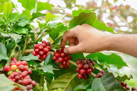 Hand picking red coffee beans on coffee tree - Arabica coffee