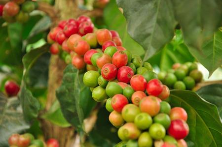 arbol de cafe: Granos de caf� ar�bica en el �rbol de caf�