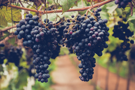 red green: Grape clusters hanging on the vine - vintage & retro  style