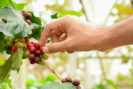 coffee harvest: Hand picking red Arabica coffee beans on coffee tree - hand focused Stock Photo