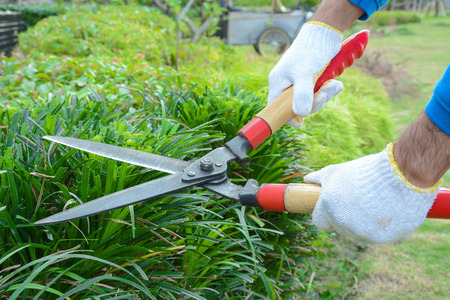 Gardener cutting hedge (or bush) with grass shears