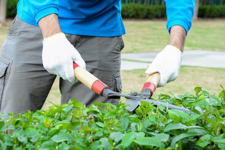 ciruela pasa: Seto Jardinero cortando (o arbusto) con tijeras de pasto