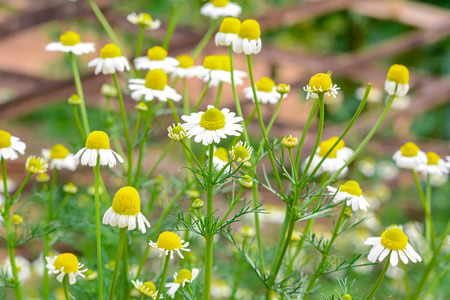 정원에 카모마일 꽃
