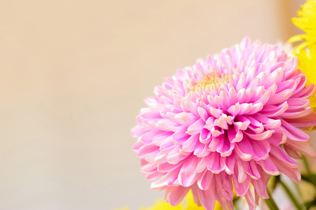 flower border pink: Pink Chrysanthemum flower - border design background with copy space Stock Photo