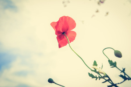 opium poppy: Red poppy (or opium) flower on white cloud background - vintage (retro) style color effect Stock Photo