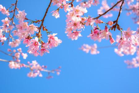 Beautiful pink Sakura flower blooming on blue sky background - soft focus