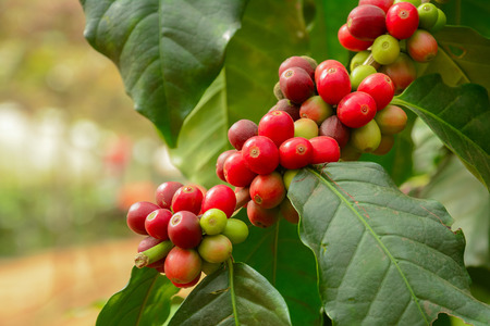 coffee harvest: Fresh coffee beans on branch of coffee plant - Arabica coffee