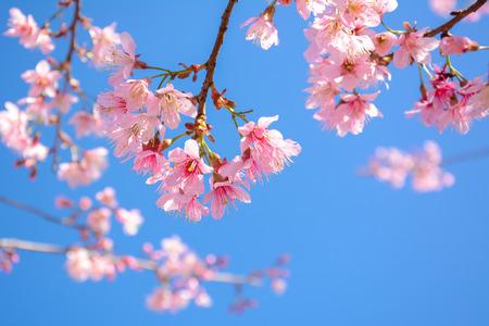 Beautiful pink Sakura flower blooming on blue sky background Stock Photo