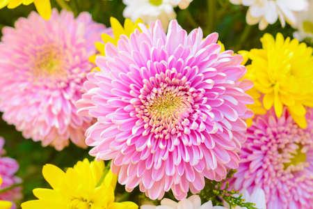 Bunte rosa und gelbe Chrysanthemen