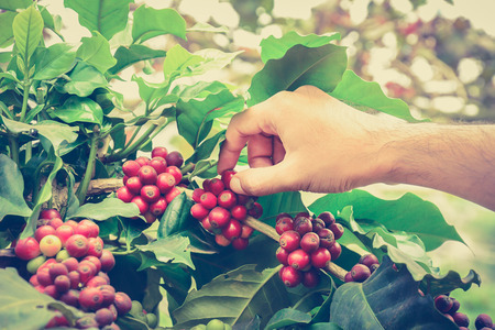planta de cafe: Mano recogiendo los granos de café de la rama de la planta de café - efecto de color estilo vintage, mano centró