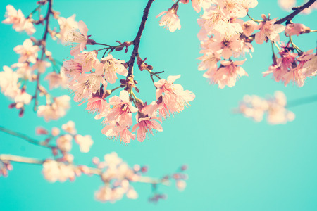 japan sky: Pink Sakura flower blooming on blue sky background - vintage (retro) style color effect