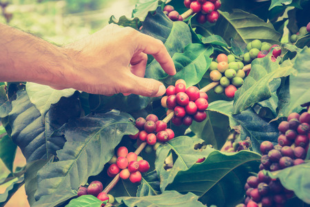 coffee coffee plant: Hand picking coffee beans from branch of coffee plant - vintage style color effect, hand focused