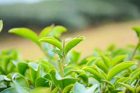 tip of the leaf: Tea leaves