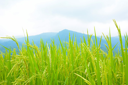 Green rice field on the hill