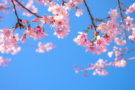 Sakura flor rosa Hermosa flor en el fondo de cielo azul - foco suave Foto de archivo - 43016983