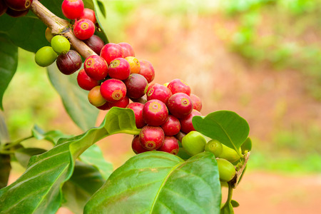 Coffee plant with red coffee fruit on the branch 스톡 콘텐츠