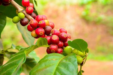 grano de cafe: Planta de café con el fruto del café roja en la rama Foto de archivo