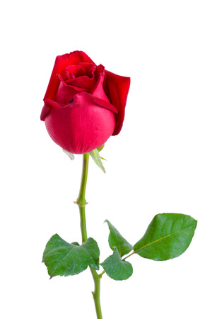 long stem roses: Beautiful red rose with  isolated on white background