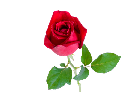 beautiful flowers: Beautiful red rose isolated on white background