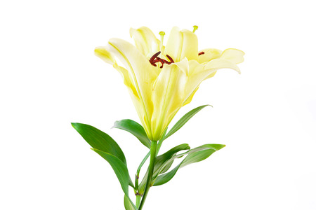 yellow stem: Beautiful soft yellow lily flowers isolated on white background Stock Photo